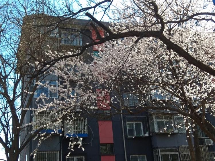 手机抓拍:小区里樱花开柳叶发绿了1.jpg