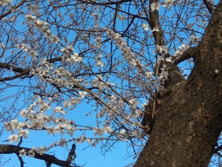 手机抓拍:小区里樱花开柳叶发绿了5.jpg
