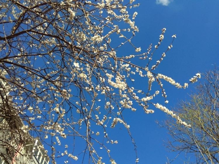 手机抓拍:小区里樱花开柳叶发绿了9.jpg